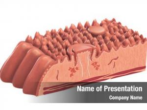 Cross section human tongue showing its