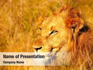Lion wild african portrait warm