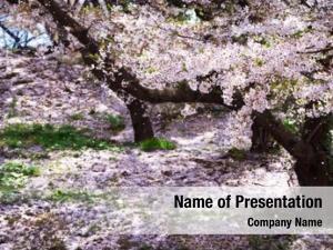 Full cherry blossom bloom