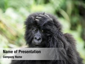 Gorilla young mountain virunga national