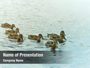 Ducks group mallard lake