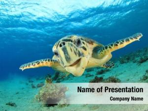Sea turtle (hawksbill turtle) underwater