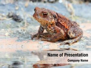 European common toad toad (bufo