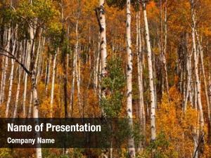 Trees row aspen autumn time