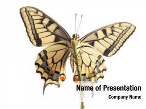Open machaon butterfly wings in,