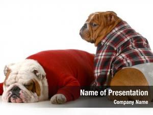 English dog couple bulldog couple