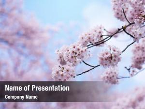 Full cherry blossoms bloom