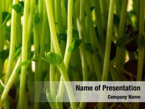 Sprouts toumyou bean (green pea