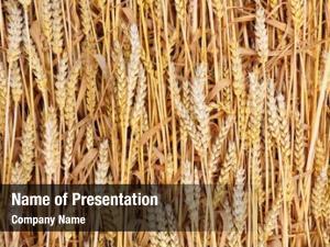 Wheat ripe common bread wheat