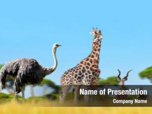 Antelopes ostrich giraffes savanna