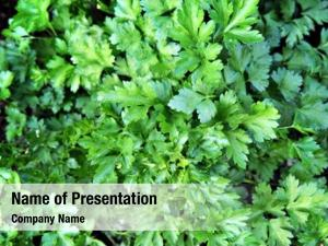 Italian green leaves parsley (flat leaf