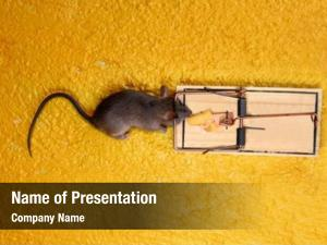 Cheese dead mouse trap over
