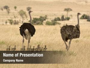 Savanna family ostriches