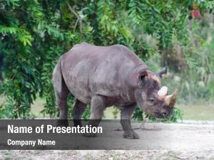 Miami rhinos walk zoo
