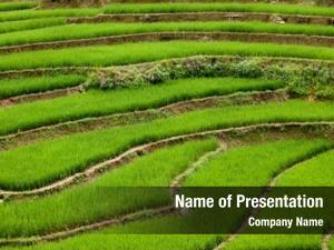 Paddies terraced rice