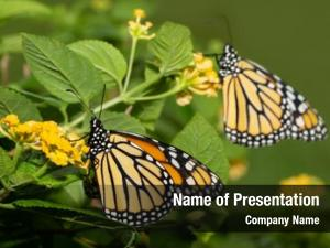 Yellow monarch butterfly lantana flower,