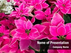 Poinsettia group pink flowers home