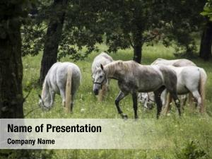 Horses, young lipizzan out open