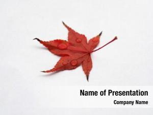 Acer leaf maple (acer rubrum)