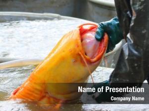 Cat golden wels fish silurus