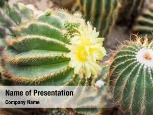 Green flower top cactus desert