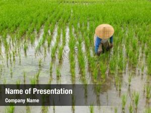 Fields farming rice