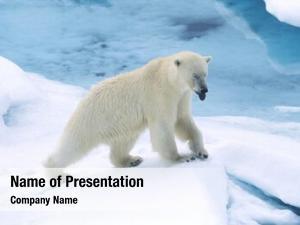 Polar norway, spitsbergen, bear snow