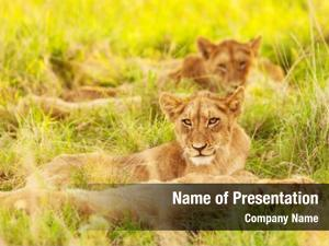 Lion photo african cubs south