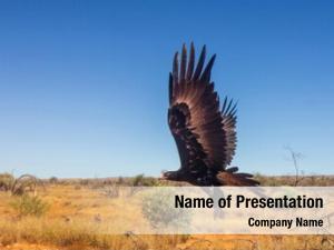 Eagle large australian flight