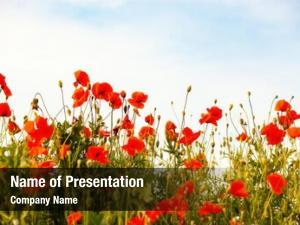 Field beautiful poppy armistice remembrance