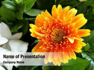Daisy yellow orange flower