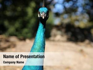 Peacock beautiful male