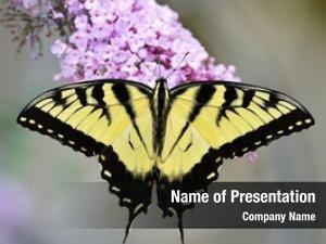 Swallowtail eastern tiger butterfly purple