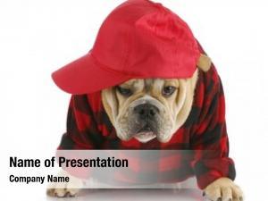 Puppy english bulldog wearing plaid