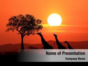 Giraffes south african sunset africa