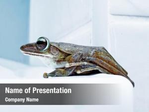 Frog close up portrait (shrub frog,