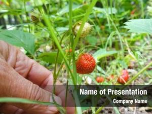 Elderly strawberry field hand collects