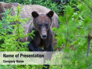 Summer grizzly bear season