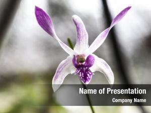 Odontoglossum beautiful white purple