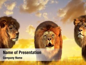 Big male lions