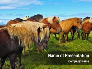 Horses herd icelandic magnificent
