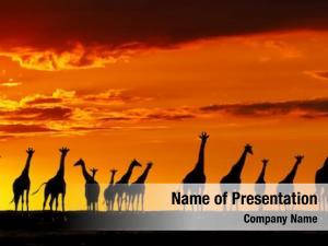 African herd giraffes savanna sunset