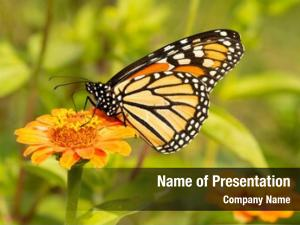 Butterfly migrating monarch refueling orange