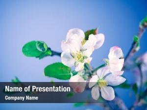 Tree, blooming apple tender little