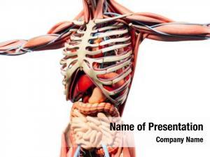 Anatomy man render, showing skeleton,