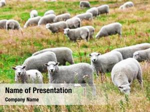 Meadow flock she