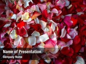 Petal colorful rose