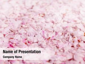 Cherry ground covered blossom petals