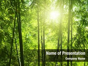 Forest asian bamboo morning sunlight