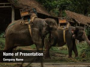 Elephants herd tame